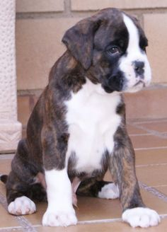 Keep pinning these Boxer Puppy pics & I might just have to get Another One!!
