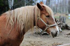 Suomenhevonen Horse Bridle, Horses, Country, Friends, Nature, Model, Animals, Horse, Amigos