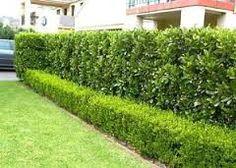 Image result for viburnum emerald lustre Hedging Plants, Going To The Gym, Hedges, Stepping Stones, Sidewalk, Outdoor Decor, Image, Emerald, Garden Ideas