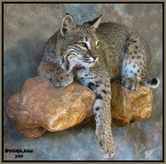 bobcat mount images - Google Search