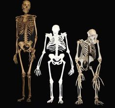 New study into Australopithecus sediba.  A. sediba is in the middle, the human to the left of the picture with the chimp skeleton on the right.