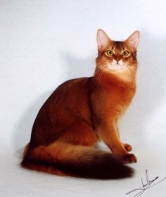 # Red Somali Cat - Would love to have one of these :)