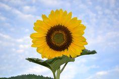 Sunflower - Colorado Sky  (by Floyd Parks)