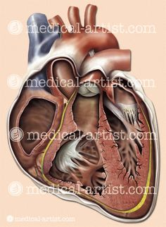 L-Heart-chambers-valves-Xsection.jpg (426×583)