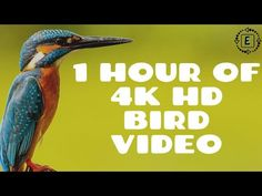 4K HD ONE HOUR OF A SINGLE BIRD | NATURE VIDEO - YouTube Nature Gif, Nature Sounds, 4k Hd, Relaxing Music, Amazing Nature, Bird, Youtube, Calming Music, Birds