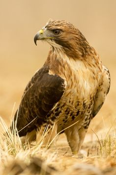 Photograph Red-tailed hawk by Jan Pelcman*