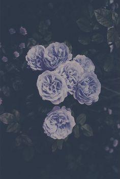 purple haze/ purple flower/