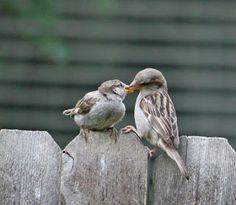Mama sparrow feeding baby