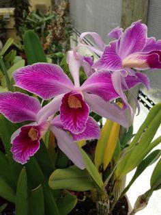 Designs For Garden Flower Beds L. Orchids Garden, Purple Garden, Orchid Plants, Exotic Flowers, Amazing Flowers, Cattleya Orchid, Growing Orchids, Hawaiian Flowers, Orchid Care