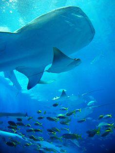 Okinawa Churaumi Aquarium, Japan been here when I was in middle school