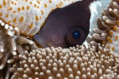 Clownfish peeping among Anemonies