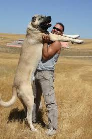 kangal Kangal Dog, Big Dog Breeds, Huge Dogs, Anatolian Shepherd, Street Dogs, Cute Love, Best Dogs, Kangaroo, Fur Babies