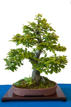 1000 images about bonsai on pinterest maidenhair tree. Black Bedroom Furniture Sets. Home Design Ideas