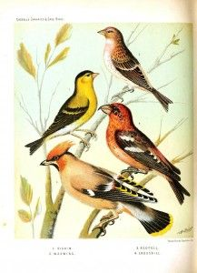 Animal - Bird - Canaries and cage birds 25 - Waxwing