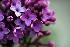 Lilacs  flower photography  purple color flower by alekaki on Etsy, $13.00