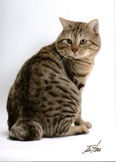 "The American Bobtail is most notable for its stubby ""bobbed"" tail about one-third to one-half the length of a normal cat's tail. This is the result of a cat body type genetic mutation affecting the tail development, similar to that of a Manx cat. American Bobtails are a very sturdy breed, with both short- and long-haired coats. Their coat is shaggy rather than dense or fluffy. They can have any color of eyes and coat, with a strong emphasis on the ""wild"" tabby appearance in show animals."