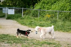 Bandit and Kirby playing tug-o-war. Wheaten Terrier, Dog Photography, Shiba Inu, Vancouver, War, Dogs, Animals, Animales, Animaux