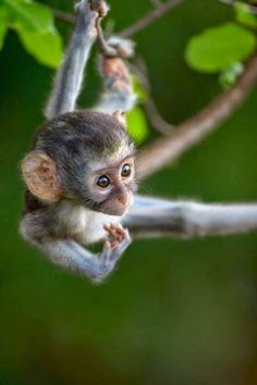 baby Vervet Monkey baby by Gerrit De Vries The Animals, Cute Baby Animals, Funny Animals, Primates, Cute Creatures, Beautiful Creatures, Animals Beautiful, Tier Zoo, Cute Monkey