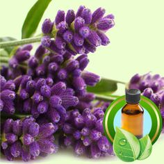 Natures Garden.com for many candle oils--Lavender 40/42 ESSENTIAL OIL