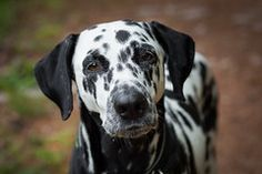 Angie (blumenbiene) Tags: hund dog hunde dogs hündin female dalmatiner dalmatian schwarz weis black white summer sommer freilauf gassi wald forest wood Picture Tag, I Love Dogs, Dog Lovers, Dalmatian, Woodland Forest, Pet Dogs, Summer, Black