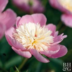 A cheery heirloom selection from the 1940s, 'Bowl of Beauty' offers a cup of pink petals surrounding a creamy center. Name: Paeonia 'Bowl of Beauty' Bloom Time: Early season Growing Conditions: Full sun and well-drained soil Size: To 26 inches tall Zones: 3-7 Native to North America: No Why We Love It: Its charming form and colors absolutely sing spring.