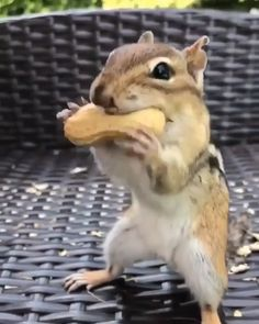 Amazing Ideas and Photography. Cute squirrel with peanuts. Amazing Ideas and Photography. Baby Animal Videos, Funny Animal Videos, Cute Funny Animals, Funny Animal Pictures, Cute Baby Animals, Animal Memes, Animals And Pets, Cute Dogs, Animal Humor