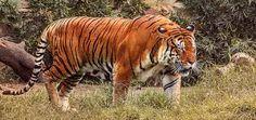 「muscular tiger」の画像検索結果