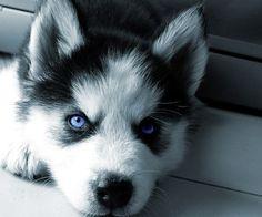Love Huskey Puppies.