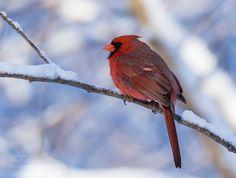 Northern cardinal - Cardinal rouge by franstonge via http://ift.tt/1RRK9kV
