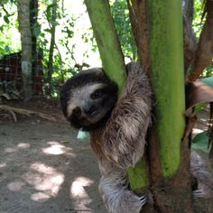 Baby sloth- puerto Viejo costa rica I have to see one! I will name him Sid for Kat!