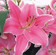 'Sorbonne' Oriental Lily