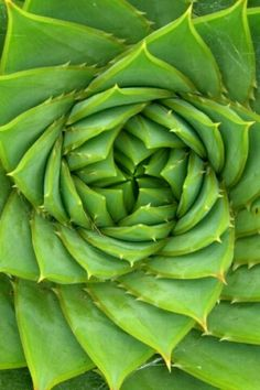 the golden ratio is seen over and over in nature. fractals occur in nature as well...a basic shape occurring over and over in a plant making a pleasing pattern