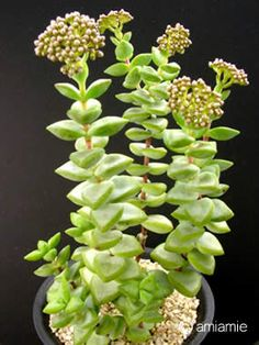 Crassula sp.博星