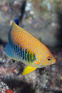 Potters Angelfish - off Oahu Hawaii Flickr by Benthichi