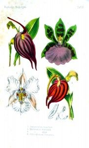 Botanical - Flower - Orchid - white and red