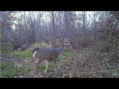 Solo Hunted Iowa Giant Whitetail Deer caught on Video Trail Camera.mov