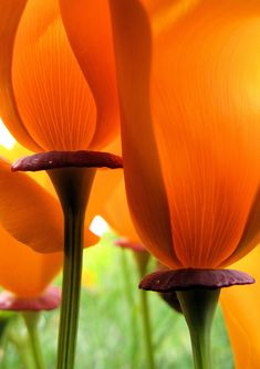 ~~California Poppy by Paul & Kathie~~