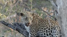 Leopard on a kill, Orpen Road