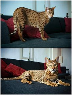 "The Most Expensive Cat In The World Meet the $22,000 designer cat that has become the latest exotic pet for fashionable homeowners in America. The specially-bred Ashera is the largest, rarest and most exotic house cat in the world. The pricey puss is a result of breeding the African Surval and the Asian Leopard cat with a domestic cat. Bred by Los Angeles-based Lifestyle Pets, the company claims the Ashera ""is a new ultra-exotic breed of domestic cat."