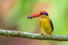 COLOURS - Oriental dwarf kingfisher (female Bird) Jully 2013, Chiplun,Mahareshtra, NANDUS Place... No word to say about the frame just Enjoy....... Canon 1DX, Canon 500mm +1.4Tc, f/5.6,iso-1600........ ENJOY...
