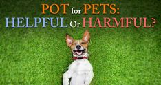 Dr. Silver discusses the challenges of giving marijuana to sick pets and the exciting alternative that is both legal, and potentially safer and more effective. http://healthypets.mercola.com/sites/healthypets/archive/2015/02/08/medical-marijuana-uses.aspx