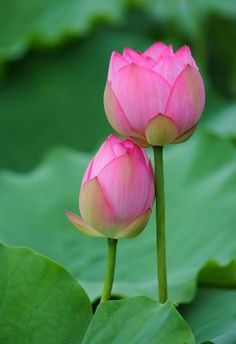 Beautiful Lotus, National Flower of India  #lotusflower #lotus