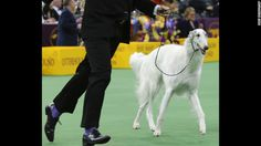 ❤ =^..^= ❤    Lucy, Reserve Champion, Westminster, 2016  .....