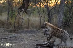 Hyenas and vultures were fulfilling their clean up duties at the giraffe carcass with tensions running high between both bird and mammal. Private Games, Game Reserve, Hyena, Mammals, Panther, South Africa, Giraffe, Safari, Adventure