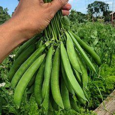 Growing peas?