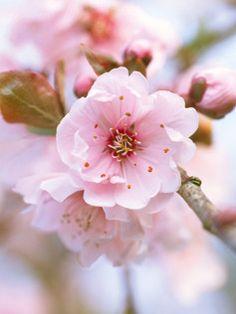 Flowering Plum (Prunus x blireana) Flower Drum, Plant Guide, Annual Flowers, Prunus, Spring Blossom, Desert Rose, Trees And Shrubs, Pink Champagne, Lawn And Garden