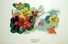 Vintage Book Plate Nasturtiums Flower Decor by GlimmersinTime, $5.50