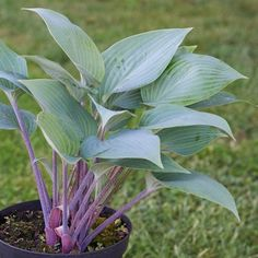 Shades of Green Hostas and Daylilies Hosta - Mr. Blue