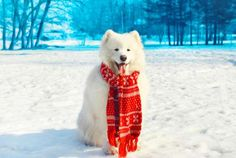 10 Happy Facts About the Samoyed