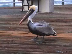 """Day 53 - The interesting residents of Pismo Beach. """"A wonderful bird is the pelican,  His mouth can hold more than his belly can,  He can hold in his beak,  Enough food for a week.  I'm damned if I know how the hell he can!"""" ~ Dixon Lanier Merritt (1879-1972)"""